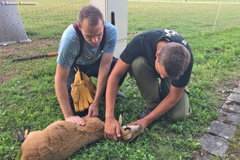 26.07.2018: Schaf klemmt in Elektrozaun